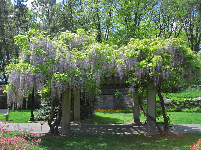 Blooming wisteria on a pergola in the Osborne Garden. Photo by Rebecca Bullene.