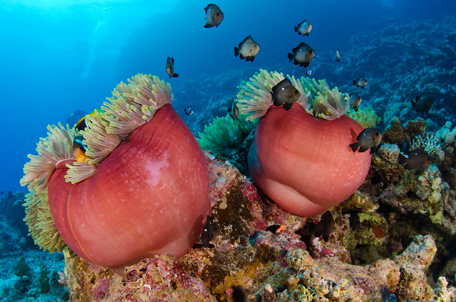 buceo en anemone city mar rojo