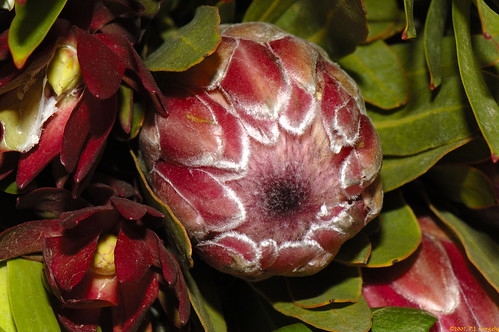 Protea Bud with Leucadendron Flowers (20071206-151444-PJG)