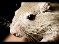 nose, animal, white, skin, rodent, pet, snout, mouse, macro photography, fauna, muroidea, close-up, whiskers,