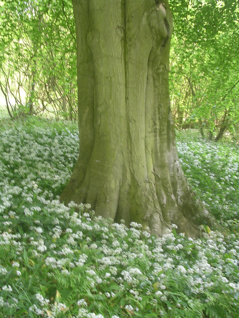 Tree and Wild Garlic Wye Circular