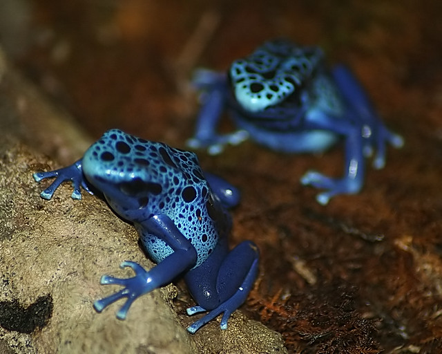 Florida Poison Frogs http://www.flickr.com/photos/23899438@N07/2495894991/
