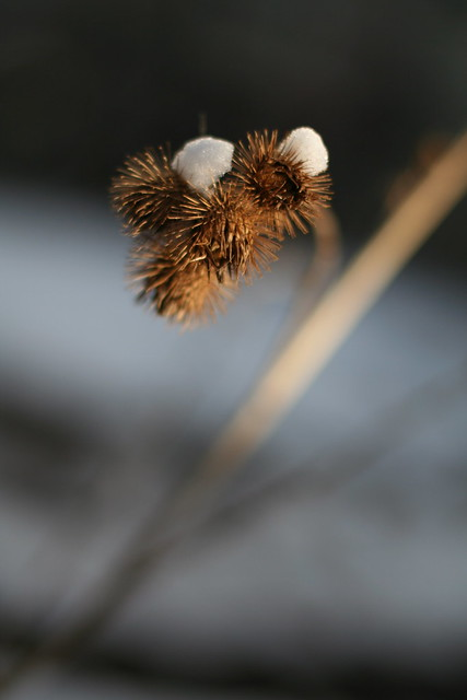same burdock, different day :: two