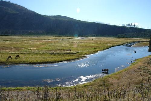 Parque Nacional Yellowstone: Animales en el Rio Madison (Entrada Oeste) parque nacional yellowstone - 2513520983 8881f6dbb8 - Parque Nacional Yellowstone, cómo visitarlo en dos días