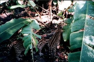 Ocelots in the Jungle around Rio Napo