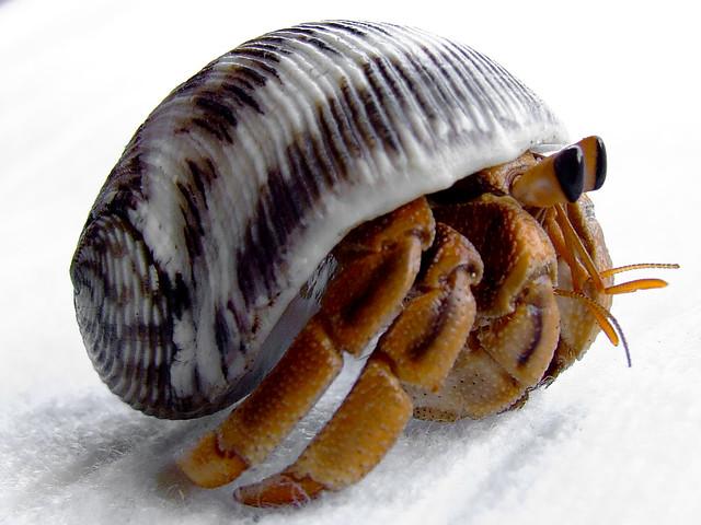 Land Hermit Crab Flickr Photo Sharing