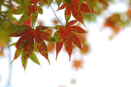 momiji colors