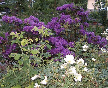 rhododendron 39 roseum elegans 39 flickr photo sharing. Black Bedroom Furniture Sets. Home Design Ideas