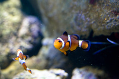 animal(1.0), anemone fish(1.0), fish(1.0), coral reef fish(1.0), marine biology(1.0), macro photography(1.0), close-up(1.0), underwater(1.0), reef(1.0), blue(1.0), pomacanthidae(1.0), aquarium(1.0),