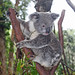 Koala - Photo (c) Michael Jefferies, some rights reserved (CC BY-NC)