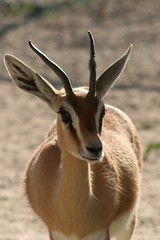 gemsbok(0.0), pronghorn(0.0), oryx(0.0), animal(1.0), antelope(1.0), springbok(1.0), mammal(1.0), horn(1.0), fauna(1.0), close-up(1.0), gazelle(1.0), wildlife(1.0),