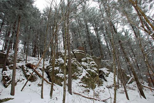 Pine Trees 4