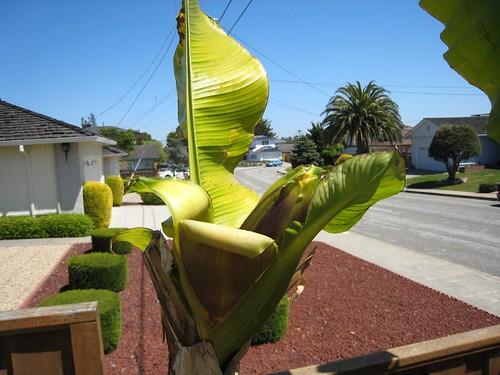 banana trees IMG_2373