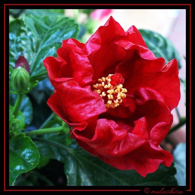 Flor del Hibisco.