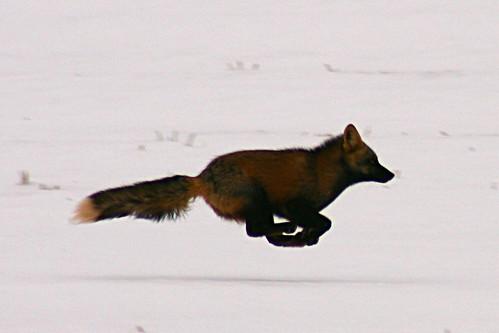La corsa della volpe buona quasi la prima un po 39 di - Immagini di volpe spugna a colori ...