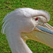 pelican close-up @ fota