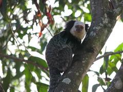 animal(1.0), branch(1.0), primate(1.0), fauna(1.0), marmoset(1.0), new world monkey(1.0), wildlife(1.0),