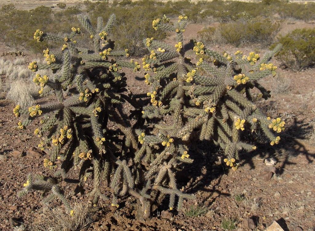 Cane Cholla (Cylindropuntia californica var. parkeri)
