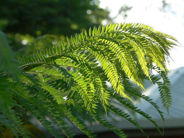 Medium  640   480   Jacaranda Tree Leaves