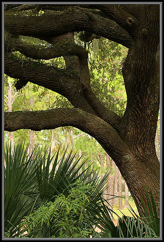 nature scenery florida liveoak alachuacounty gainesvillegolfcountryclub