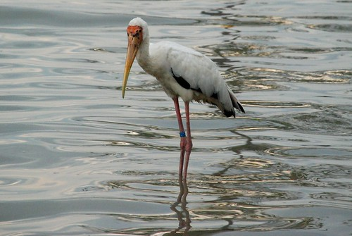 wild milky stork at Kuala Gula..(not at Zoo!)