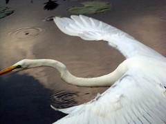 pelican(0.0), swan(0.0), horn(0.0), animal(1.0), water bird(1.0), wing(1.0), heron(1.0), beak(1.0), bird(1.0), egret(1.0),