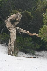 Gnarled tree on Lake McKenzie