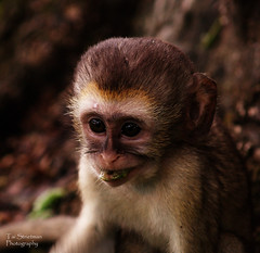 animal, monkey, mammal, capuchin monkey, fauna, close-up, old world monkey, new world monkey, macaque, wildlife,