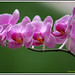 Orchid by santoshnc