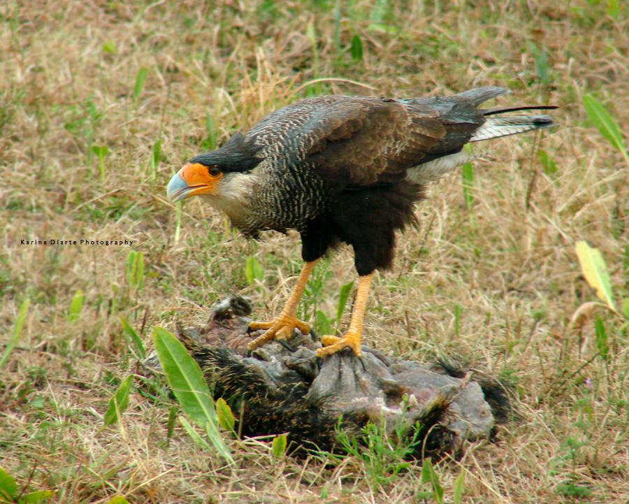 Carancho - Southern Crested-caracara