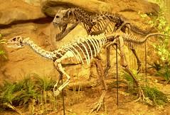 velociraptor, tyrannosaurus, fauna, dinosaur,