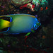 Small photo of Queen Angel Fish