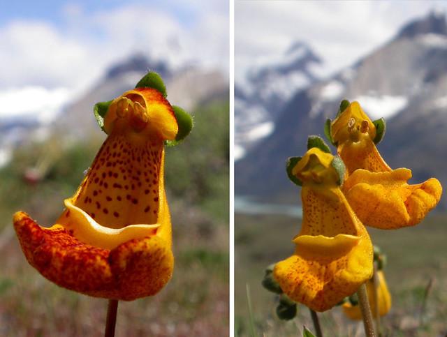 زهرة داروين النعال