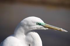 animal, suliformes, fauna, close-up, great egret, heron, beak, bird, wildlife,