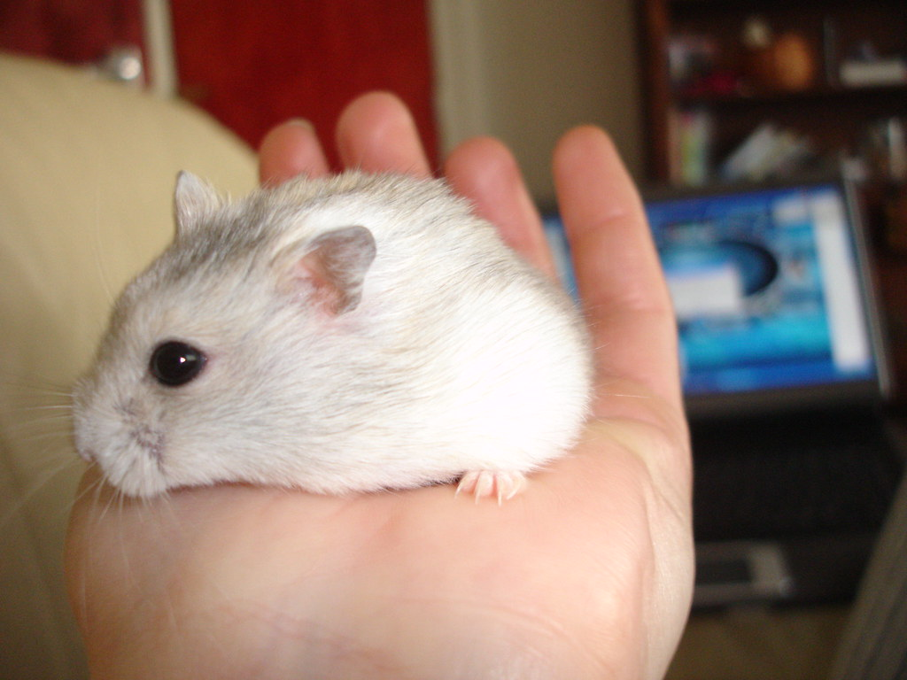 white dwarf hamster with red eyes - photo #35