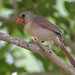 Small photo of Cardinal