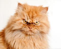 Garfi-Fluffy Persian Cat Looking Angry