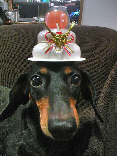 dachsund in a new years hat