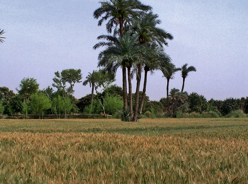pakistan wheat fields agriculture punjab bahawalpur