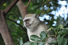 squirrel monkey(0.0), white-headed capuchin(0.0), macaque(0.0), animal(1.0), branch(1.0), monkey(1.0), mammal(1.0), capuchin monkey(1.0), fauna(1.0), old world monkey(1.0), new world monkey(1.0), wildlife(1.0),