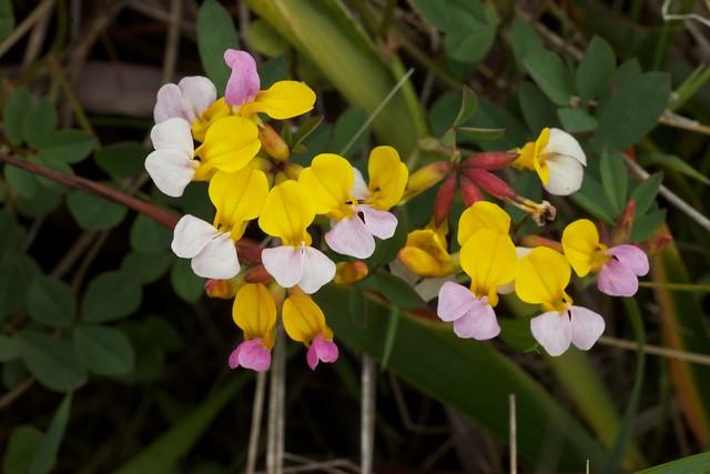 Hosackia gracilis (Lotus formosissimus)
