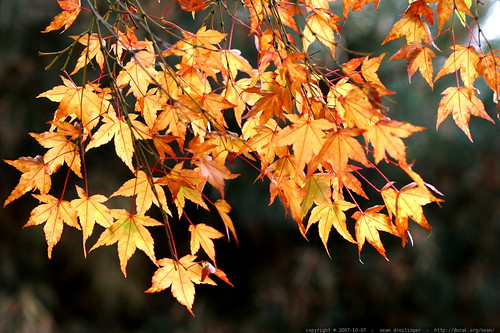 golden autumn leaves    MG 4552