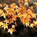 golden autumn leaves    MG 4552