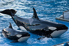 common bottlenose dolphin(0.0), marine biology(0.0), short-beaked common dolphin(0.0), striped dolphin(0.0), spinner dolphin(0.0), stenella(0.0), rough-toothed dolphin(0.0), animal(1.0), marine mammal(1.0), whale(1.0), killer whale(1.0), dolphin(1.0),