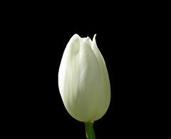 tulip_isolated