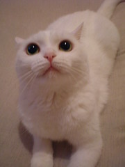 nose, exotic shorthair, animal, kitten, british shorthair, khao manee, small to medium-sized cats, pet, burmilla, turkish angora, cat, carnivoran, whiskers,