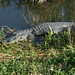 Small photo of Alligator
