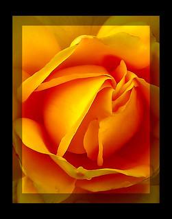 majestic_rose_macro
