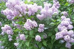 shrub(0.0), lilac(1.0), blossom(1.0), flower(1.0), hydrangea serrata(1.0), lilac(1.0),