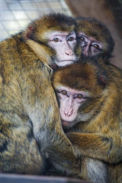 Three macaques keeping warm